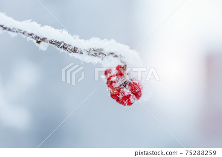 Red rawanberry covered with snow in winter day 75288259