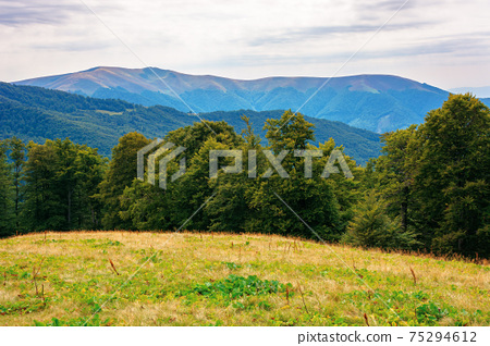 beech trees on the grassy hill. beautiful nature scenery in mountains. carpathian summer landscape in afternoon 75294612