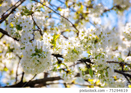 white apple blossom in morning sunlight. beautiful nature background in springtime. tender flowers on the branches in front of the blurry background of twigs and blue sky 75294619