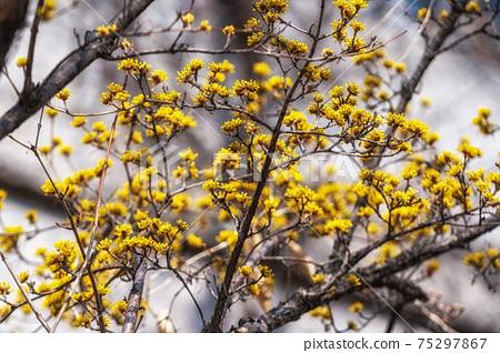 Cornus Officinalis or Sansuyu 75297867