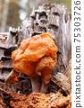 Hooded false morel or the elfin saddle - inedible fungus 75303726