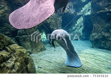 manatee close up portrait looking at you 75303810