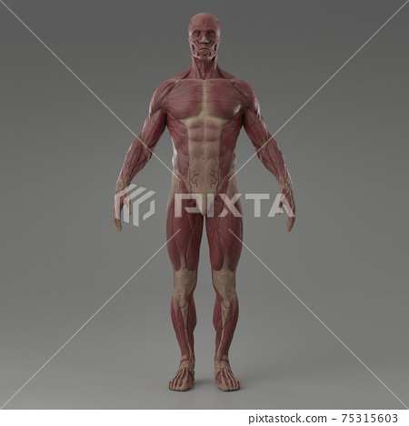 3d rendering illustration of muscle 75315603