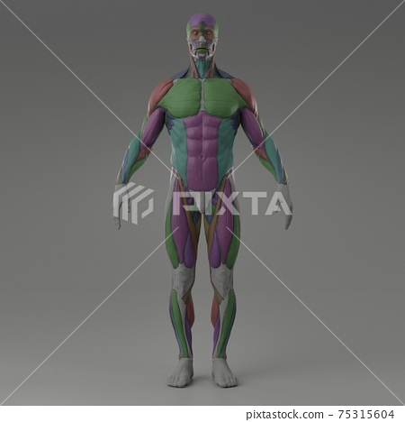 3d rendering illustration of muscle 75315604
