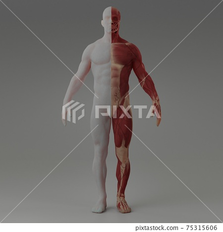 3d rendering illustration of muscle 75315606