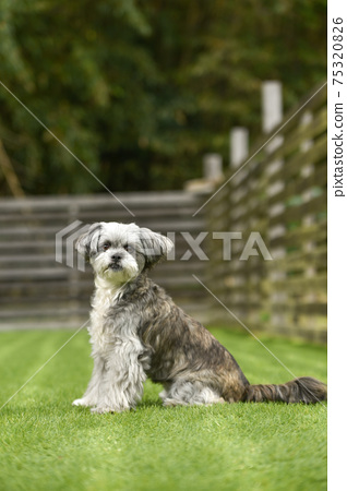 狗跑推薦的西施犬和混種狗 75320826