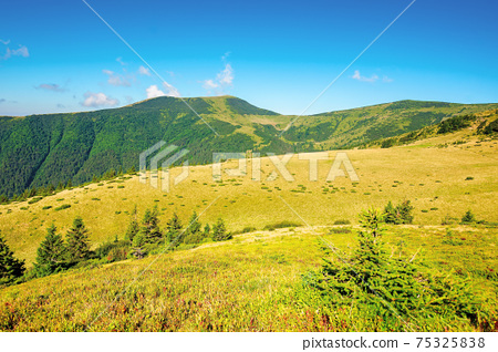 summer mountain landscape in the morning. fir trees on grassy meadows. distant hills beneath a blue sky with clouds. chornohora ridge wonderful travel destination of carpathians 75325838