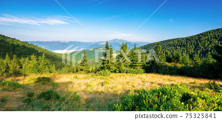 fir trees on the hillside meadow in morning light. beautiful nature scenery in summer time. fog in the valley. distant ridge beneath a blue sky. wonderful adventures in carpathians 75325841