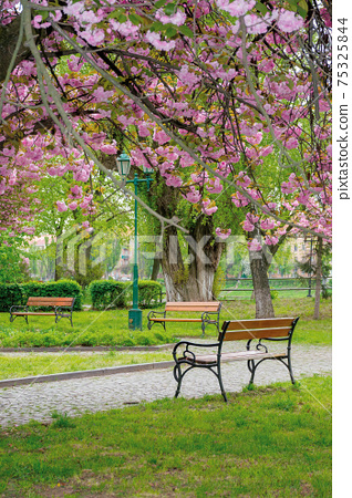 sakura blossom in the park. beautiful nature scenery in springtime. lush pink flowers on the branches above the paved footpath 75325844