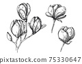Sketch of flowers. Magnolia isolated on white background. Vector 75330647