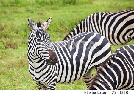 非洲野生斑馬 75333102