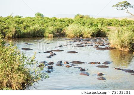 非洲野生河馬 75333281