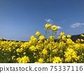 油菜花開:花朵伸入藍天,像一對夫婦般依sn 75337116