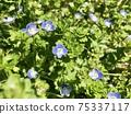 波斯Speedwell可愛藍色花Veronica persica 75337117