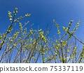 開始在藍藍的天空中生長豆芽 75337119