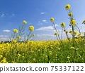 在春風中搖曳的油菜花和藍天 75337122