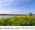春天的河邊油菜花盛開,橋樑和藍天 75337123