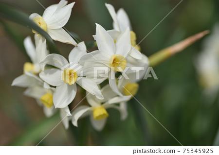 Daffodil 75345925