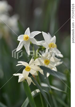 Daffodil 75345926