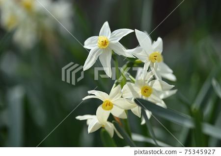 Daffodil 75345927