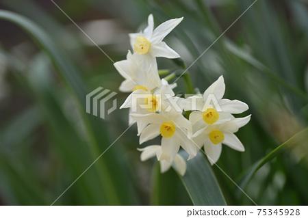 Daffodil 75345928
