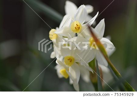 Daffodil 75345929