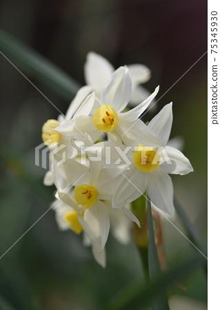 Daffodil 75345930