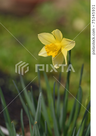 Daffodil 75345931
