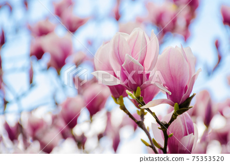 pink magnolia blossom in springtime. beautiful flowers on the branch in morning light 75353520