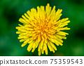 한송이의 민들레 (민들레) 꽃 75359543