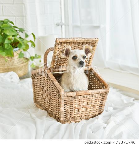 可愛的小狗在籃子裡 75371740
