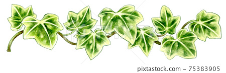Dark green ivy colored pencil drawing 75383905
