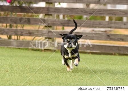 吉娃娃狗跑 75386775