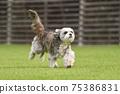 小型犬,混血狗,西施犬奔跑 75386831