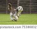 小型犬,混血狗,西施犬奔跑 75386832