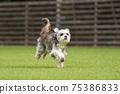 小型犬,混血狗,西施犬奔跑 75386833