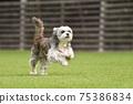 小型犬,混血狗,西施犬奔跑 75386834