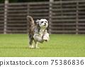 小型犬,混血狗,西施犬奔跑 75386836