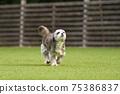 小型犬,混血狗,西施犬奔跑 75386837