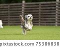 小型犬,混血狗,西施犬奔跑 75386838
