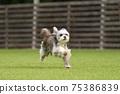 小型犬,混血狗,西施犬奔跑 75386839