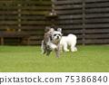小型犬,混血狗,西施犬奔跑 75386840