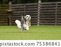 小型犬,混血狗,西施犬奔跑 75386841