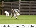 小型犬,混血狗,西施犬奔跑 75386843