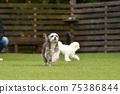 小型犬,混血狗,西施犬奔跑 75386844
