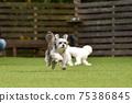 小型犬,混血狗,西施犬奔跑 75386845