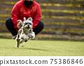小型犬,混血狗,西施犬奔跑 75386846