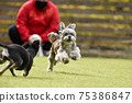 小型犬,混血狗,西施犬奔跑 75386847