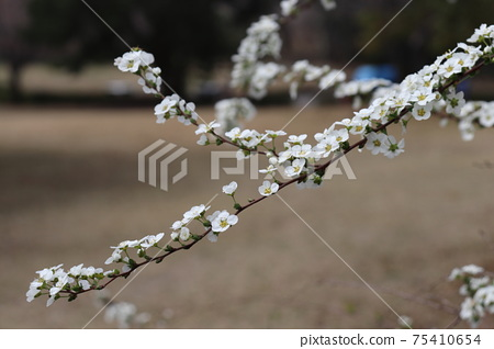 Spiraea thunbergii, Yukiyanagi, white flowers 75410654