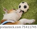 영어 불독 강아지 축구 의상 아르헨티나 대표 10 번 사진 236 75411745